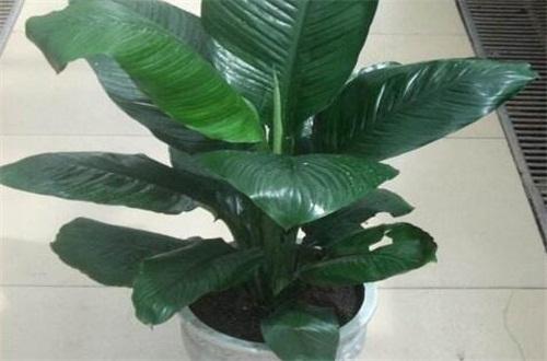 绿巨人花怎么养_绿巨人_绿巨人植物_绿巨人植物图片_绿巨人植物怎么养_植物之家