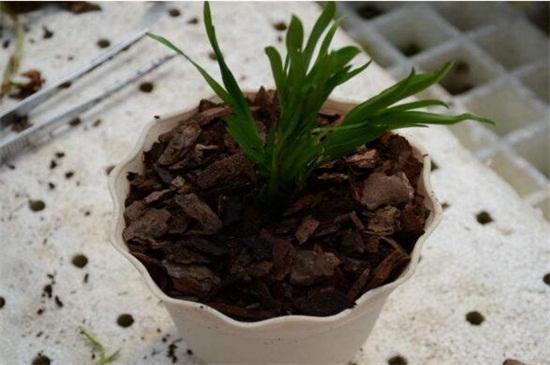 香兰什么时候种,秋季9~10月播种成活率最高