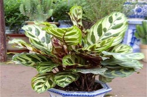 孔雀竹芋和红掌哪种容易种活