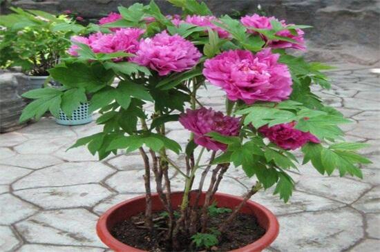 芍藥花的種植方法
