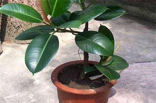 橡皮树怎样养