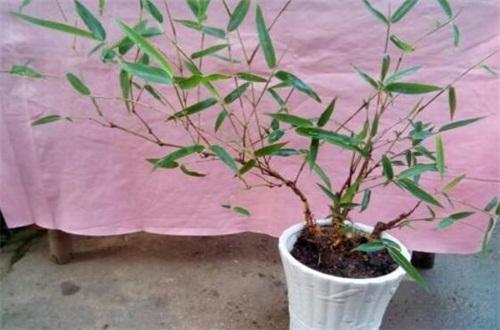 竹子叶子发黄怎么补救,防晒及时浇水追施肥