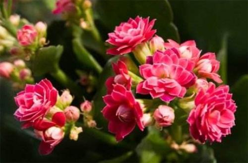 长寿花几月长花蕾,1~2月份育蕾开花