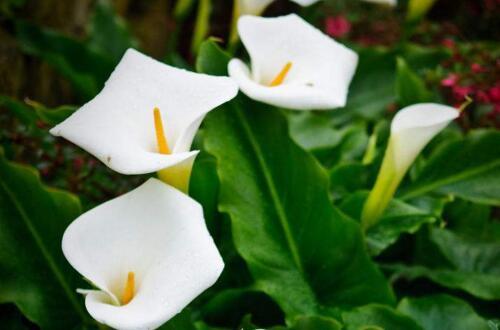 马蹄莲开花后怎么处理,更换土壤少浇水