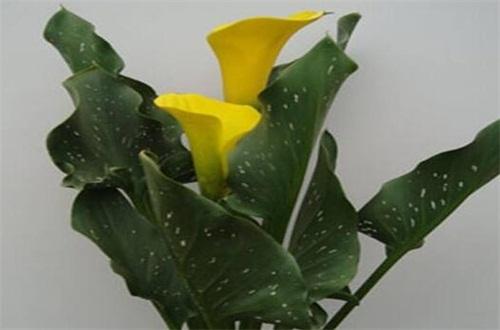 马蹄莲叶子发黄发软怎么办,浇水补湿并合理施肥