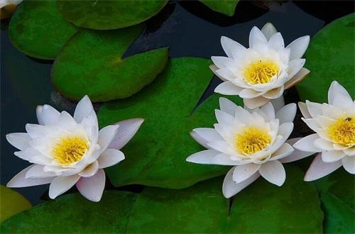 如何种植睡莲,可对其播种或者分株