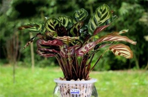 孔雀竹芋的养护方法