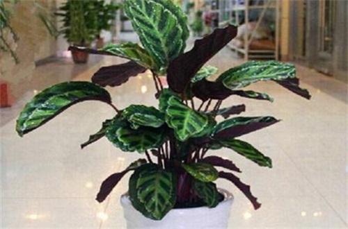 紫背竹芋的寓意风水,美好事物提高气运