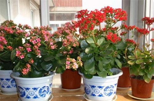 长寿花几月份长花苞,在1~2月长花苞开花