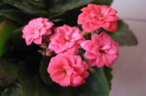 长寿花一般几月份打顶,春夏3~9月份打顶最适宜