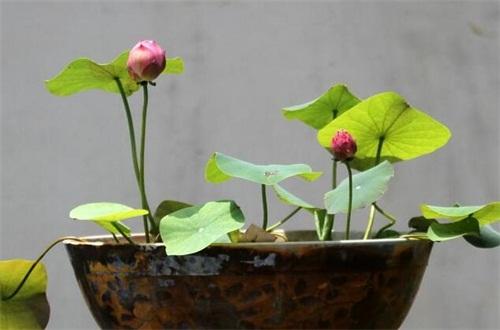 30颗碗莲种多大的盆,要单颗种植盆径30cm的花盆