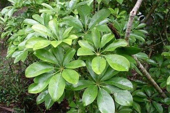 鸭掌木叶子变黑脱落,4个步骤使其恢复生机