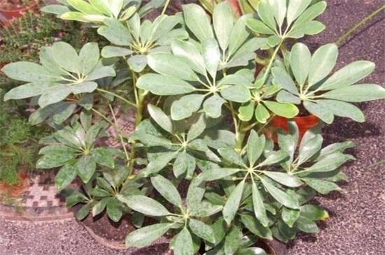 鸭掌木扦插步骤图解,4个步骤教你种植鸭掌木