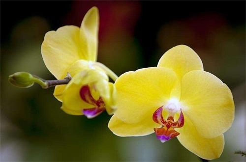蝴蝶兰什么颜色名贵,黄色品种价格昂贵