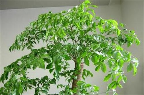 幸福树一般多高打顶