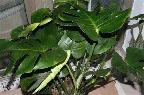 龟背竹中毒多久有症状