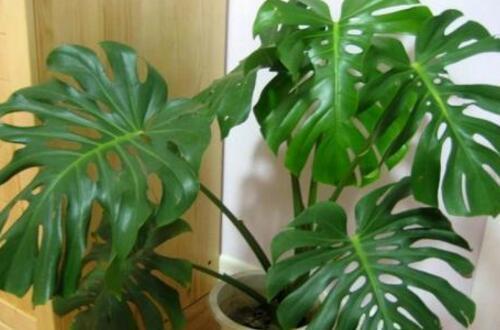 龟背竹定植要多久