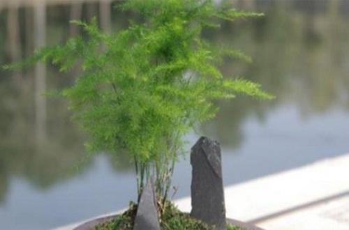 文竹剪到根部多久能发芽