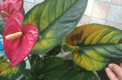 红掌叶子发黄怎么补救,调整温度并更换土壤