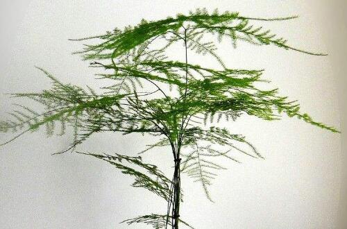 文竹叶子发黄的八大原因及修