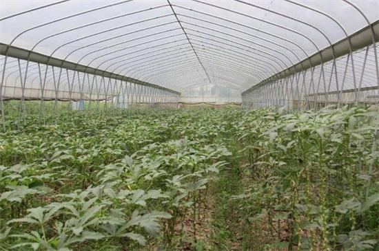 大棚秋葵种植与管理,整地松土后移栽定植
