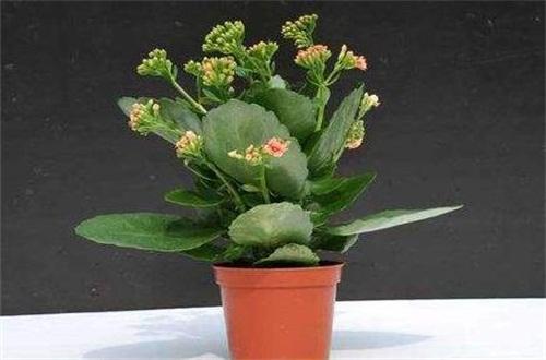 长寿花叶子变软变薄怎么办,增加光照并适当浇水