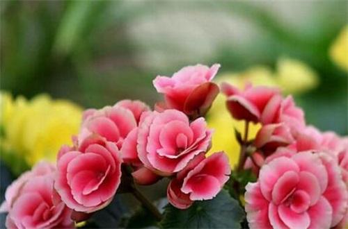 海棠花有几种