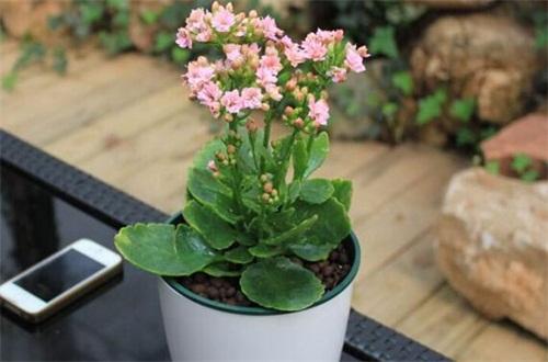 长寿花叶子发软能活吗,控制水肥增强光照救活