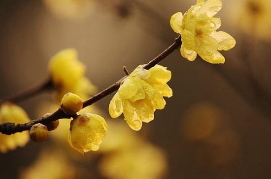 怎么才能养好盆栽黄金梅