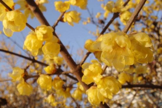 黄金梅盆栽养殖方法,及时浇水定期修剪