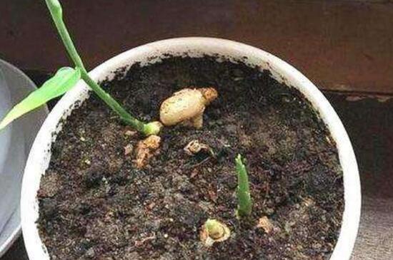 盆栽生姜越冬方法,溫水澆灌充足光照