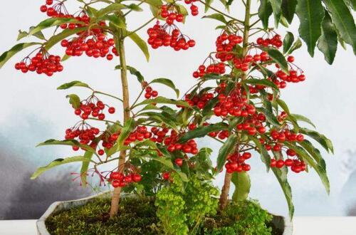富贵子如何长新枝开花,加强光照预防害虫