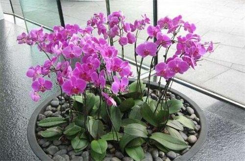 最简单蝴蝶兰家庭养法,适宜盆土并修剪通风