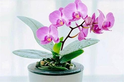 蝴蝶兰幼苗批发价,5~20元左右一株