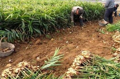 生姜一亩地能产多少斤