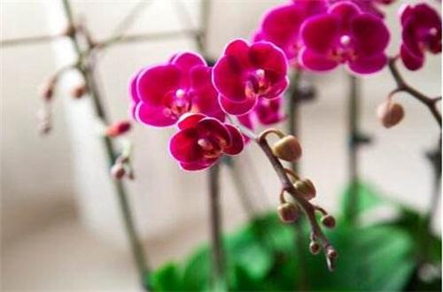 蝴蝶兰品种名称大全,盘点十大常见的蝴蝶兰