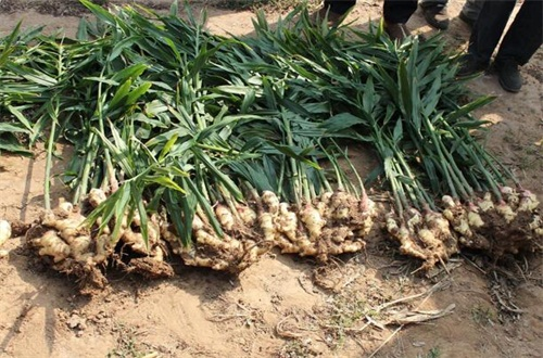 生姜种植风险有哪些