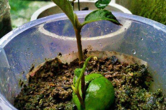 陽臺種枇杷好嗎,采光透氣更適宜生長