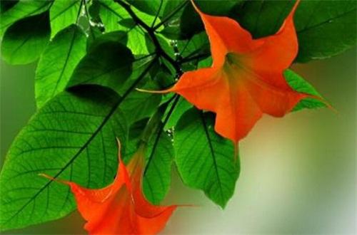 曼陀羅花的香味有毒嗎,可致幻讓人神志不清