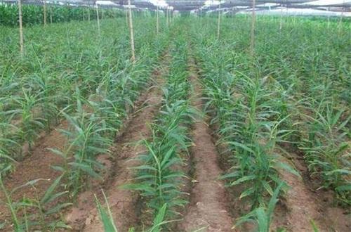 生姜种植方法技术