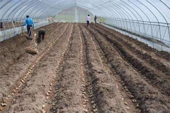 生姜种植方法技术,大棚内整地松土后控温养护
