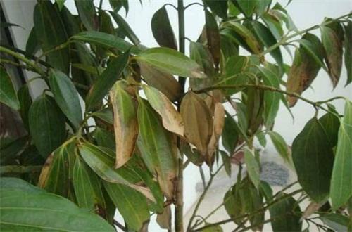 平安树为什么黄叶