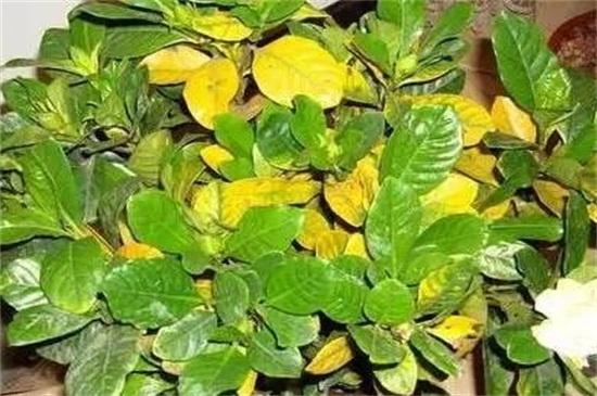 植物葉子發黃用什么肥,需及時的追施氮復合肥
