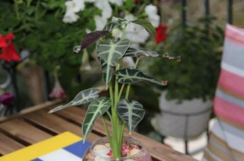 小仙女叶子都掉光了,调整温度并阴凉养护