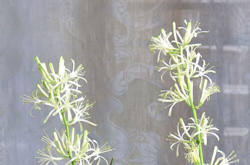 虎尾兰开花有寓意