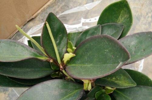 碧玉植物有毒吗