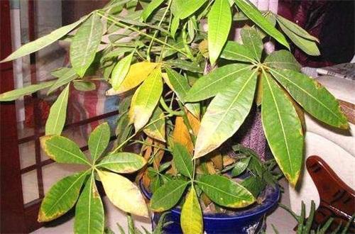 发财树施肥后叶子发黄