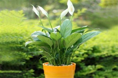 白掌叶子全软了怎么办,遮阴防晒更换土壤养护
