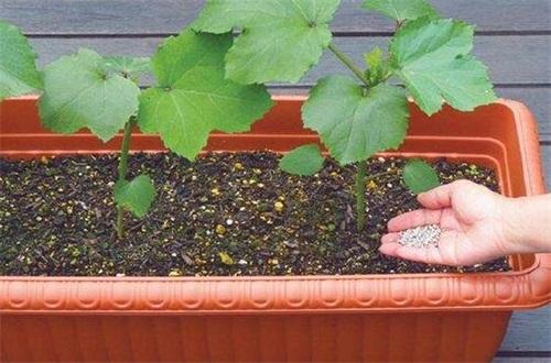 秋葵的栽培方法,种子浸泡处理播种发芽
