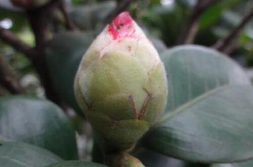 茶花花蕾干枯能补救吗,增加肥料加强光照